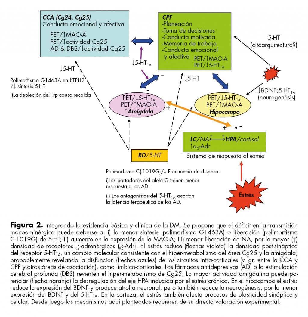 Integración de la evidencia básica y clínica de la DM.